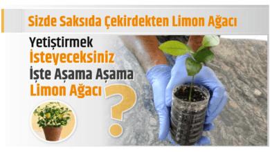 Photo of Saksıda Çekirdekten Limon Ağacı Yetiştirmek İstermisiniz? İşte Aşama Aşama Limon ağacı!
