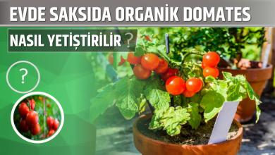 Photo of Evde Saksıda Organik Domates Nasıl Yetiştirilir?